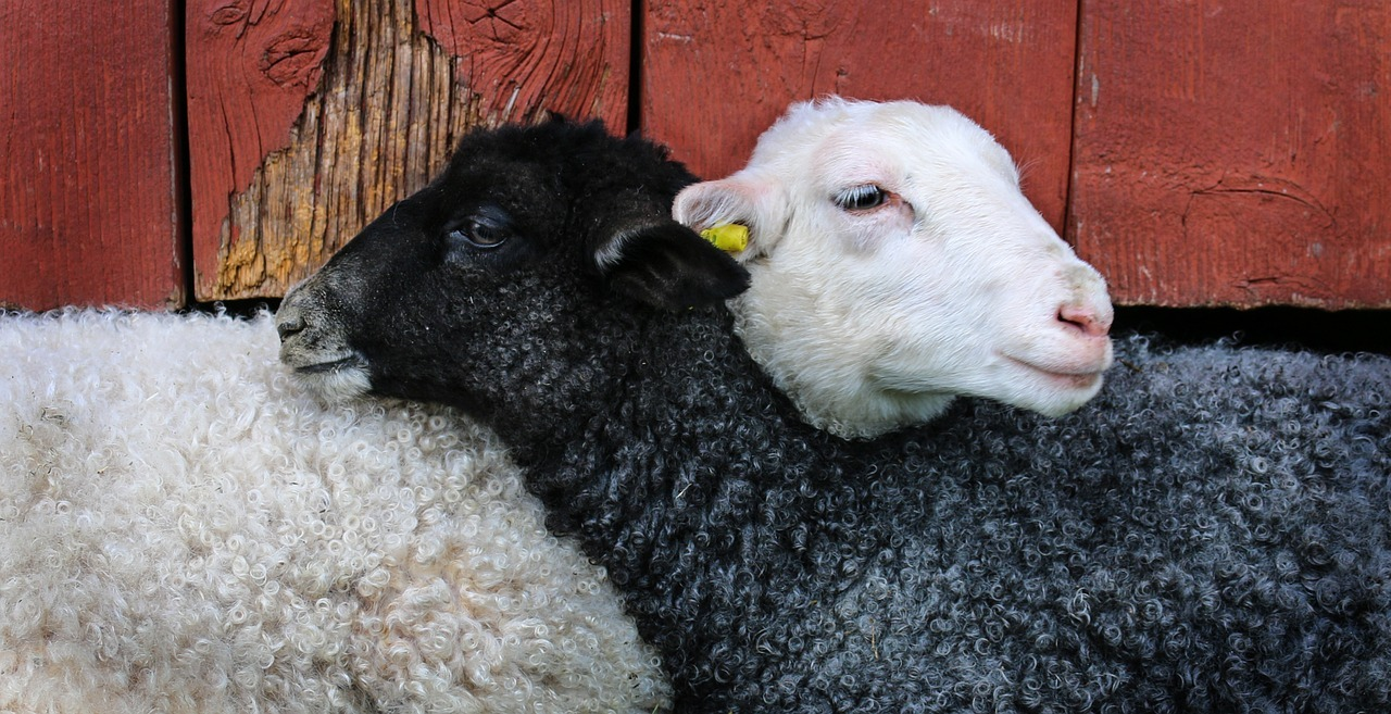 A black sheep and a white sheep resting on each other's necks.