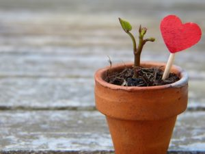 Sprouting plant with a heart in a pot