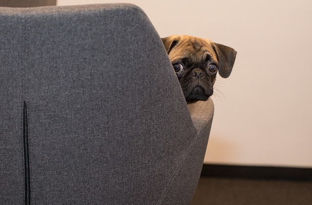 Confused pug seated in an office chair and looking back