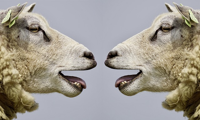 Two sheep talking to each other