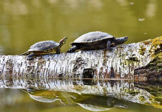 Turtles walking on a log in the water