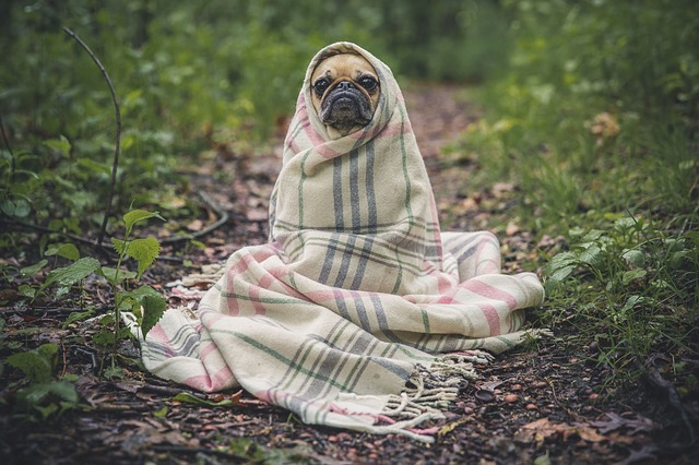 Standing pug wrapped in a plaid blanket