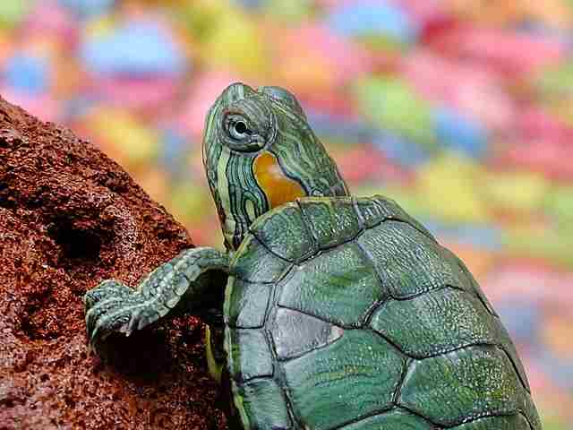 Turtle on a rock with a colorful background